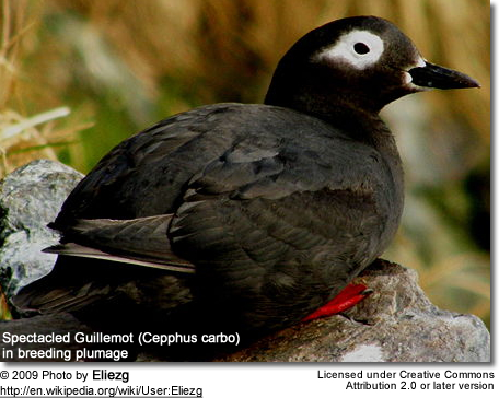 Spectacled Guillemot