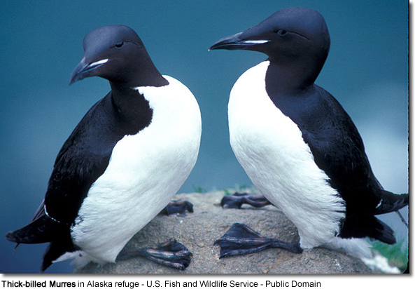 Thick-billed Murres in Alaska refuge