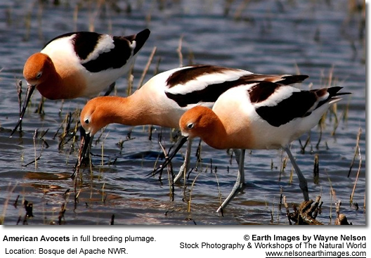 American Avocets in Breeding Plumage
