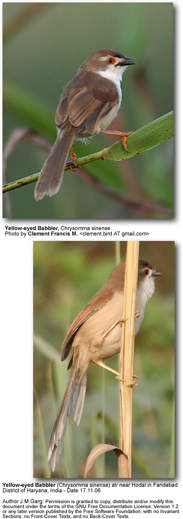 Yellow-eyed Babblers