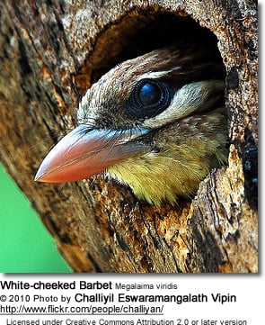 White-cheeked Barbet - close up head detail
