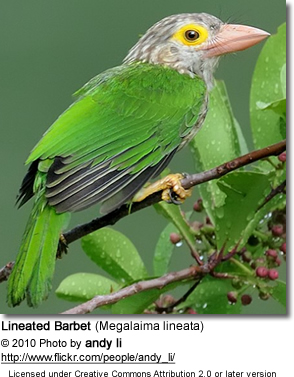Lineated Barbets