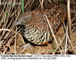 Female Barred Button Quail