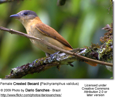 Female Crested Becard