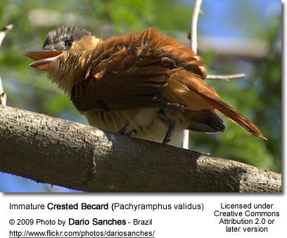 Immature Crested Becard