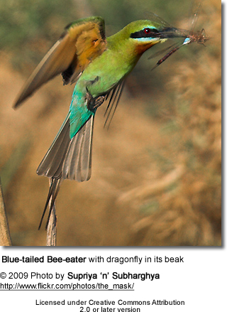 Blue-tailed Bee-eater with dragonfly