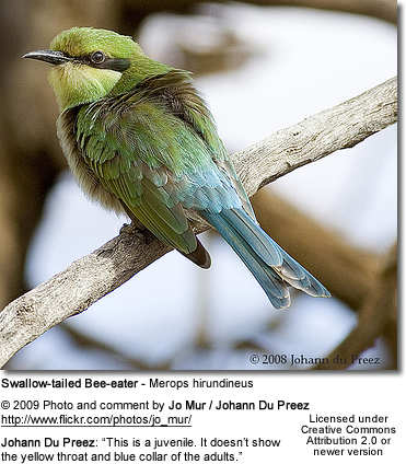 Swallow-tailed Bee-eater - Juvenile