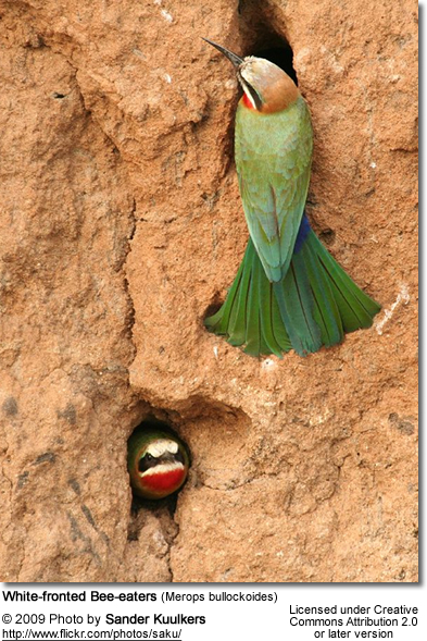 White-fronted Bee-eaters Nesting