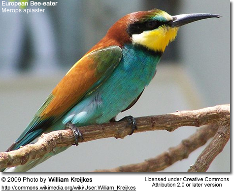 european bee eaters beauty of birds