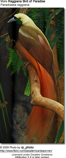 Male Raggiana Bird of Paradise