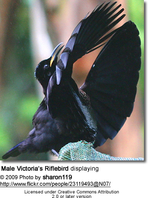Male Victoria's Riflebird displaying