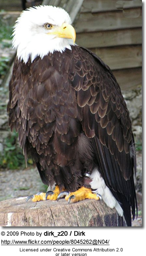 African Fish Eagle (Haliaeetus vocifer[2])