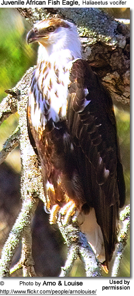 Juvenile African Fish Eagle, Haliaeetus vocifer