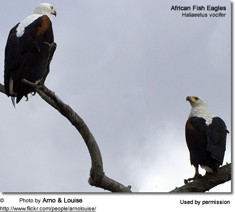 African Sea Eagles