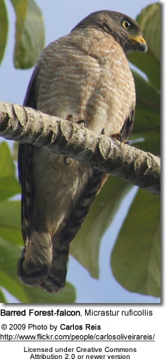 Barred Forest-falcon, Micrastur ruficollis