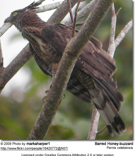 Barred Honey-buzzard (Pernis celebensis)