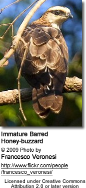 Barred Honey-buzzard (Pernis celebensis) - Immature