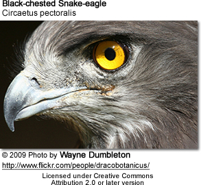 Black-chested Snake-eagle (Circaetus pectoralis)