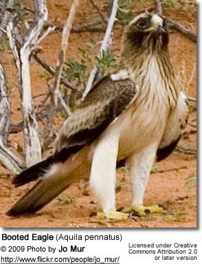 Booted Eagle (Aquila pennatus)