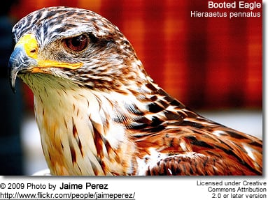 Booted Eagles | Beauty of Birds