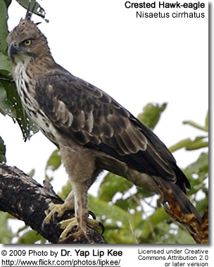 Crested Hawk-eagle or Changeable Hawk-eagle (Nisaetus cirrhatus)