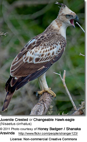 Juvenile Crested Hawk-eagle