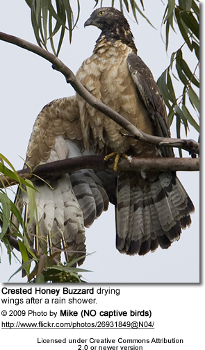 Crested Honey Buzzard drying its wing after a rain shower
