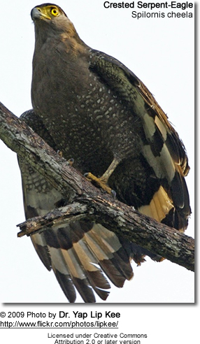 Crested Serpent Eagle, Spilornis cheela
