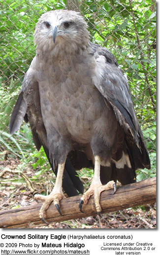 Crowned Solitary Eagle (Harpyhaliaetus coronatus) also known as Crowned Eagle