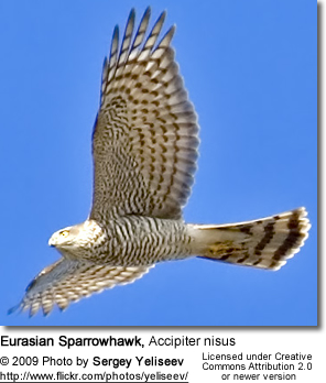 Eurasian Sparrowhawk, Accipiter nisus in flight