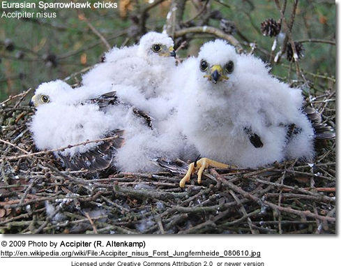 Eurasian Sparrowhawk chicks