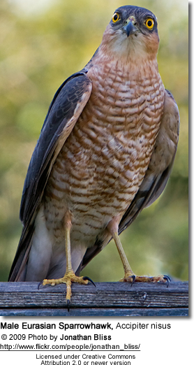 Male Eurasian Sparrowhawk, Male