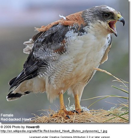 Female Red-backed Hawk