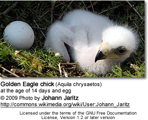 Golden Eagle chick (Aquila chrysaetos) and egg
