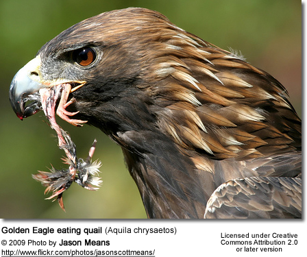 Golden Eagle eating quail (Aquila chrysaetos) feeding on a quail bird