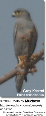 Grey or Gray Kestrel
