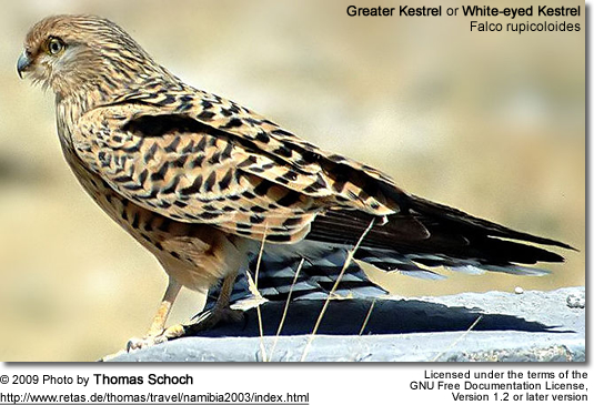 Greater Kestrel or White-eyed Kestrel (Falco rupicoloides)