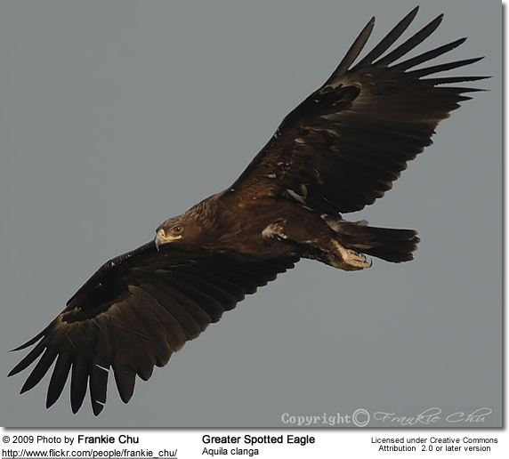 Greater Spotted Eagle (Aquila clanga), occasionally just called the