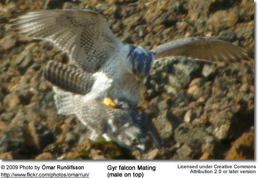 Gyrfalcons mating (male on top)