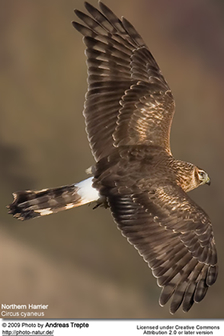 Hen Harrier or Northern Harrier