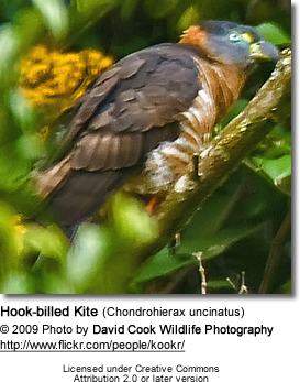 Hook-billed Kite (Chondrohierax uncinatus)