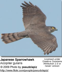 Japanese Sparrow Hawk