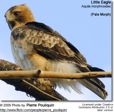 Little Eagle (Aquila morphnoides) - pale morph