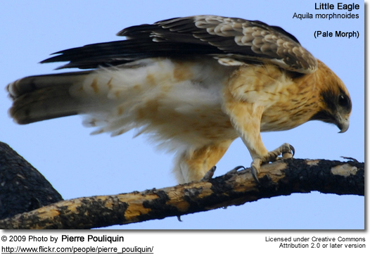 Little Eagle - Pale Morph