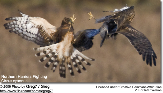 Fighting Northern Harriers