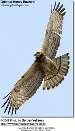 Oriental Honey Buzzard, Pernis ptilorhynchus - in flight