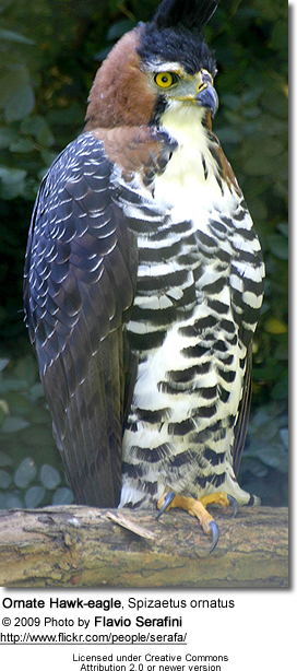 Ornate Hawk-eagle, Spizaetus ornatus