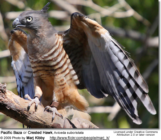 Pacific Baza or Crested Hawk, Aviceda subcristata