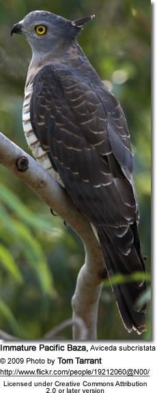 Pacific Baza (Aviceda subcristata - Immature / Young Bird