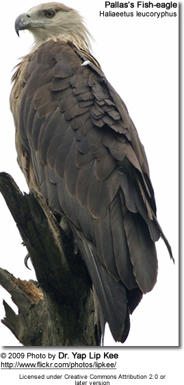 Pallas's Fish-eagle (Haliaeetus leucoryphus[2]), also known as Pallas's Sea-eagle or Band-Tailed Fish-eagle